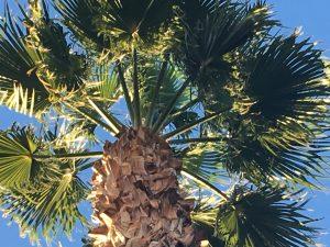 las vegas palm tree trimming