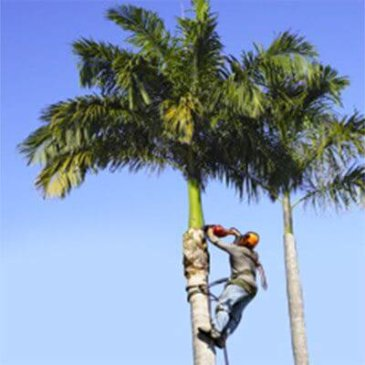 Obtain Tree Trimming Service From Certified and Licensed Company